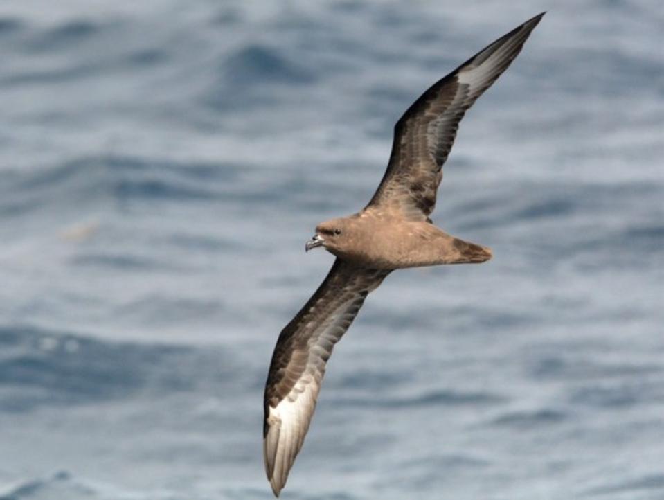 Round Island Petrel (scientific name Pterodroma arminjoniana)
