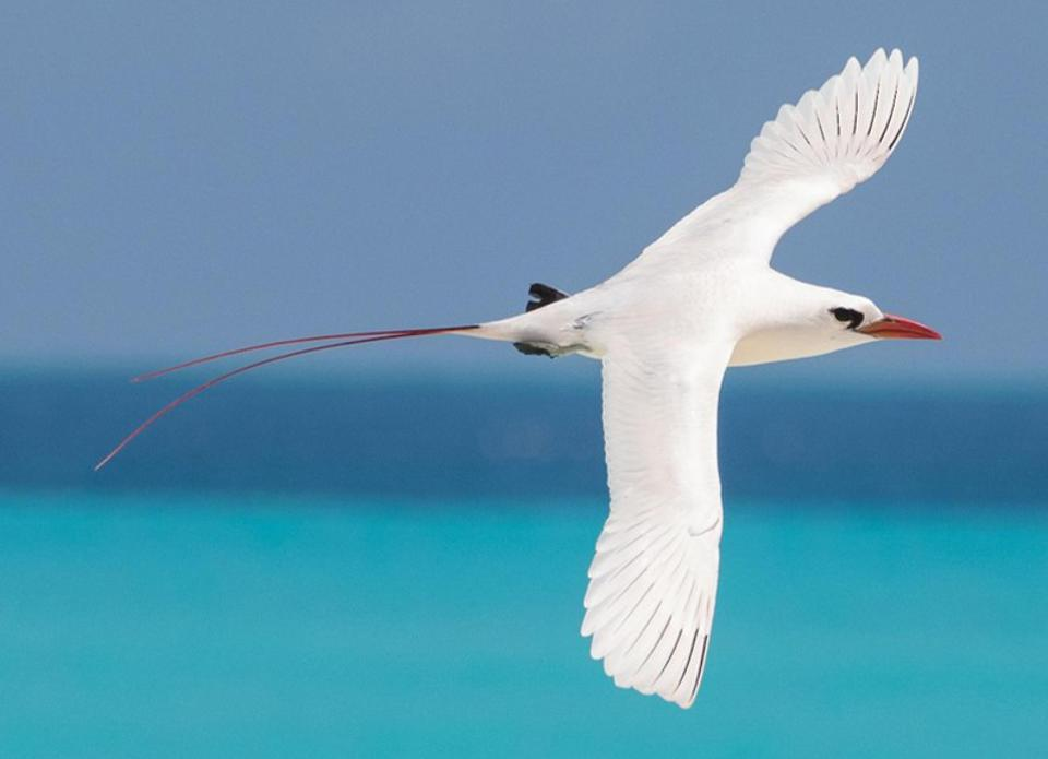 Red-tailed Tropicbird (scientific name Phaethon rubricauda) is the national symbol of Air Mauritius