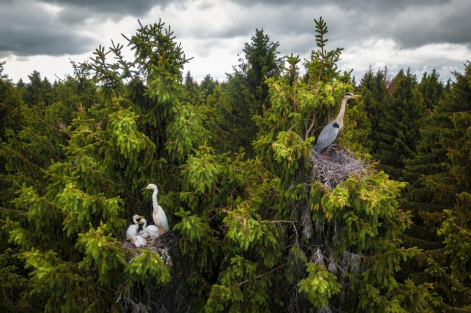 Wildlife Photos Siena Drones Award: Herons nesting on top of hight trees.