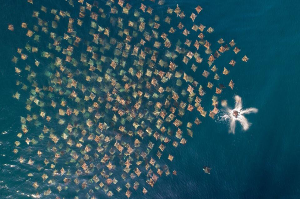 Siena Drone Photo Awards: thousands of rays swimming around a boat.