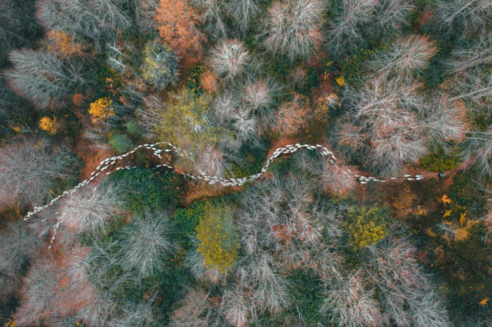 Siena Drone Photo Awards A line of white animals crossing a colorful forest