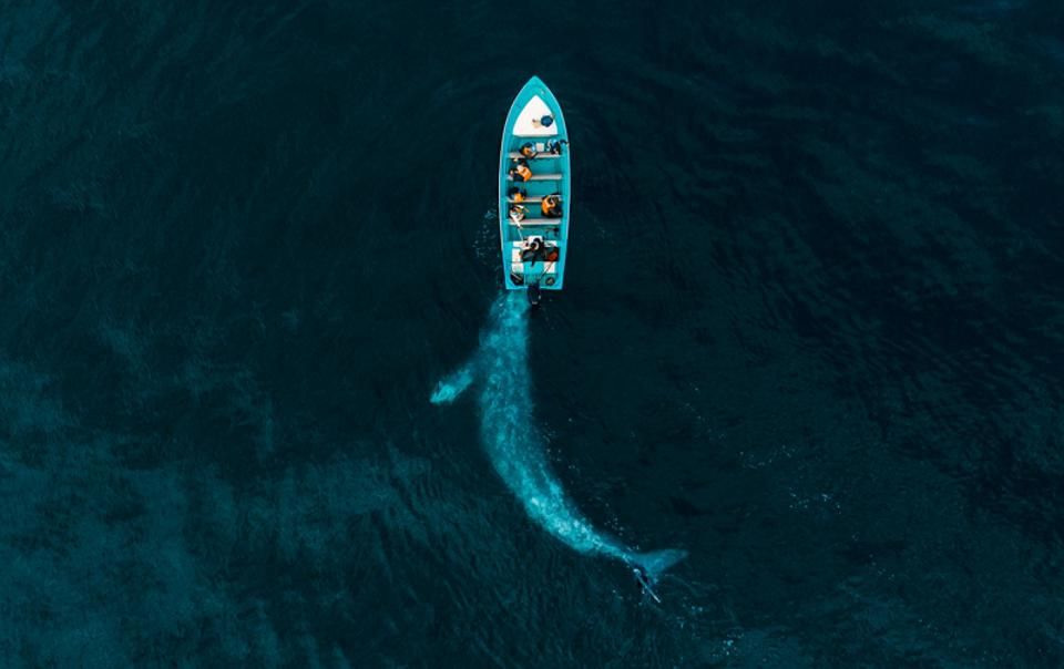 Siena Drones Awards, a blue wale pushing a boat of tourists in Baja California.