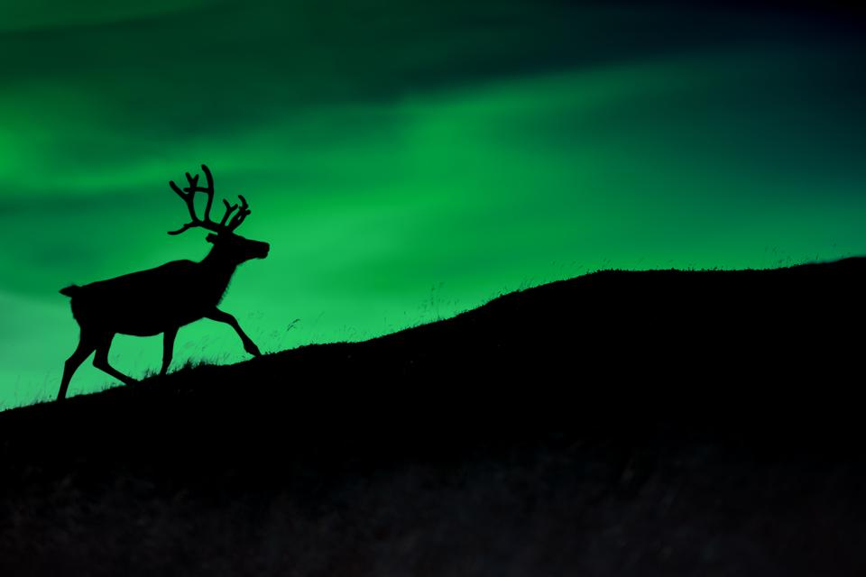 Silhouette of a deer against a background of aurora borealis shining at night in Norway.