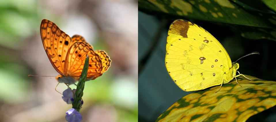Two of the unique butterflies found in Ramsar protected mangrove forest site of Point D'Esny. Left: Phalanta Phalantha Right: Eurema Floricola Ceres