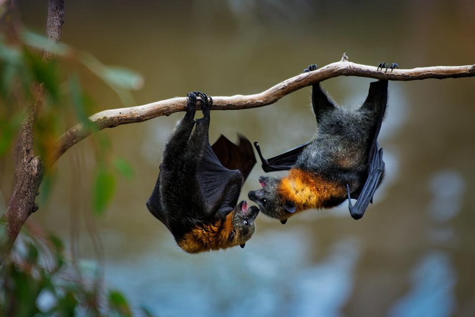 Two Gray-headed Flying Foxes hang from a branch.
