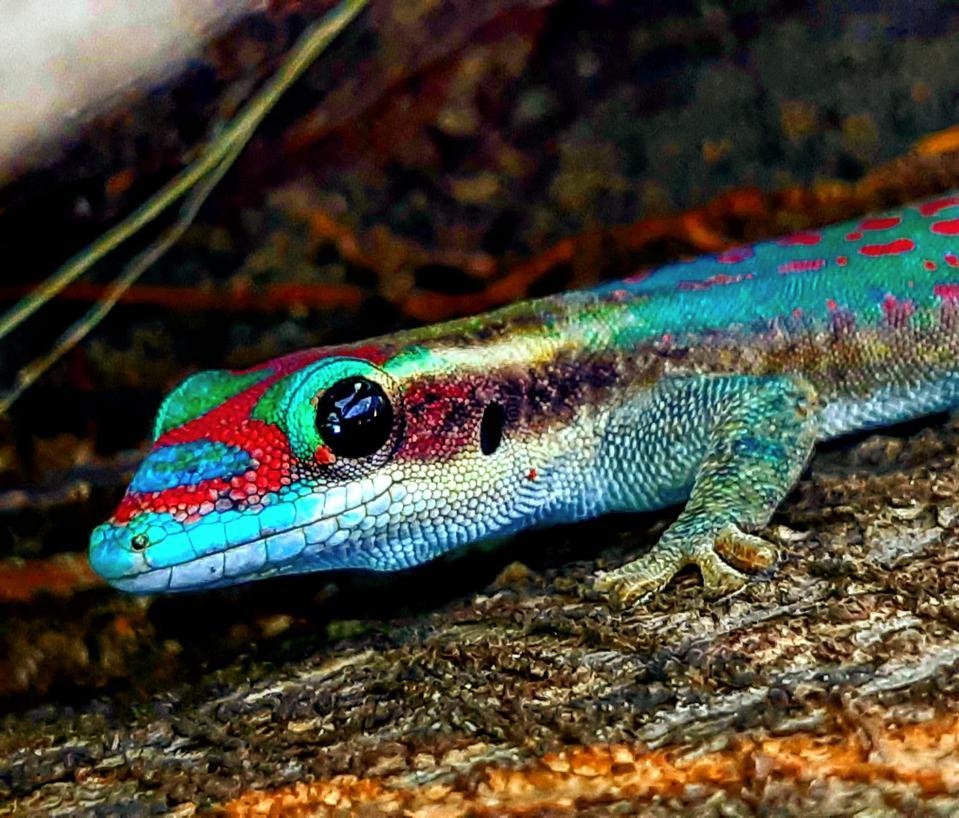 Ornate Day Gecko, scientifically known as Phelsuma ornata