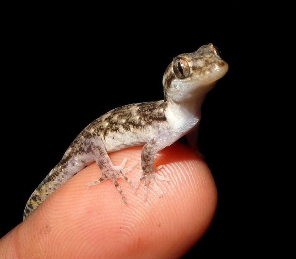 A rescued Lesser Night Gecko from the oil spill