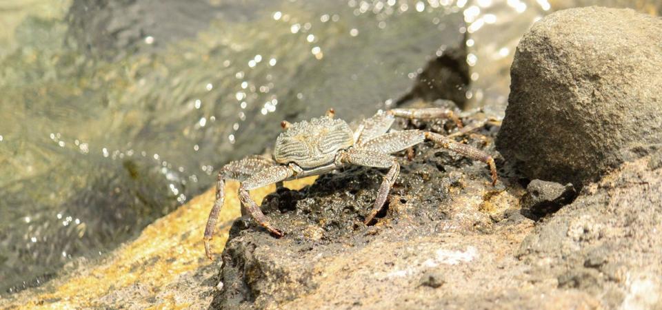 Native species of crab seen at Ile aux Aigrettes.  Scientific name Graspus Albolineatus.