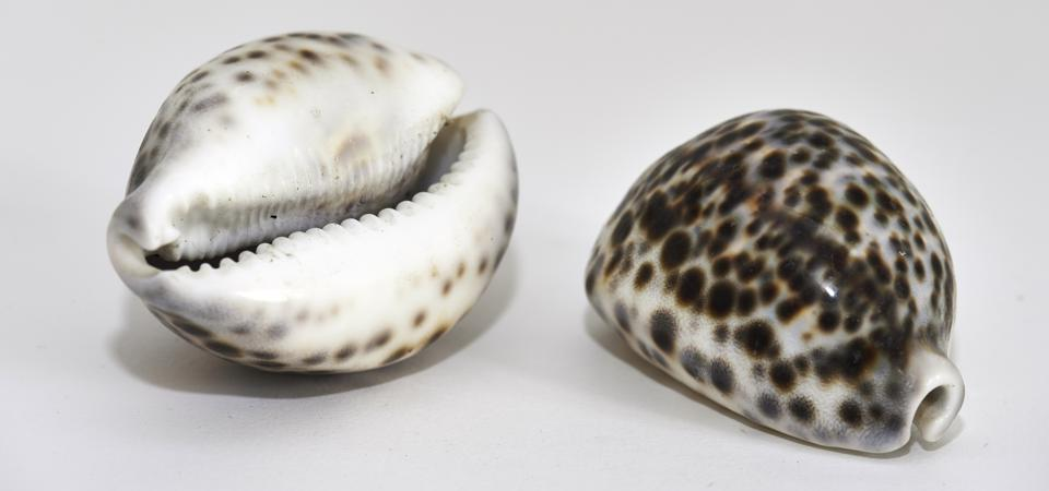 Shell of cypraea tigris, tiger cowrie.