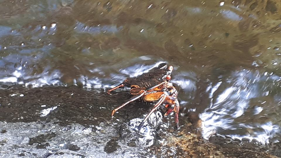 7 August 2020: oil spill on native crab species around Ile aux Aigrettes