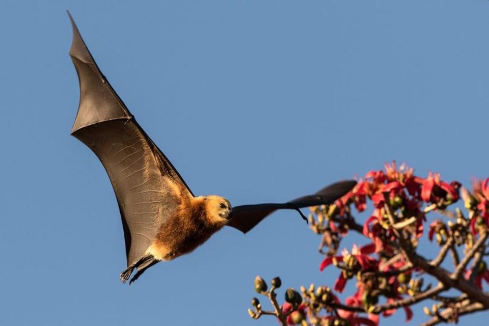 The famous giant Mauritian fruit bat, nicknamed the Mauritian Flying Fox.  Scientific name: Pteropus niger
