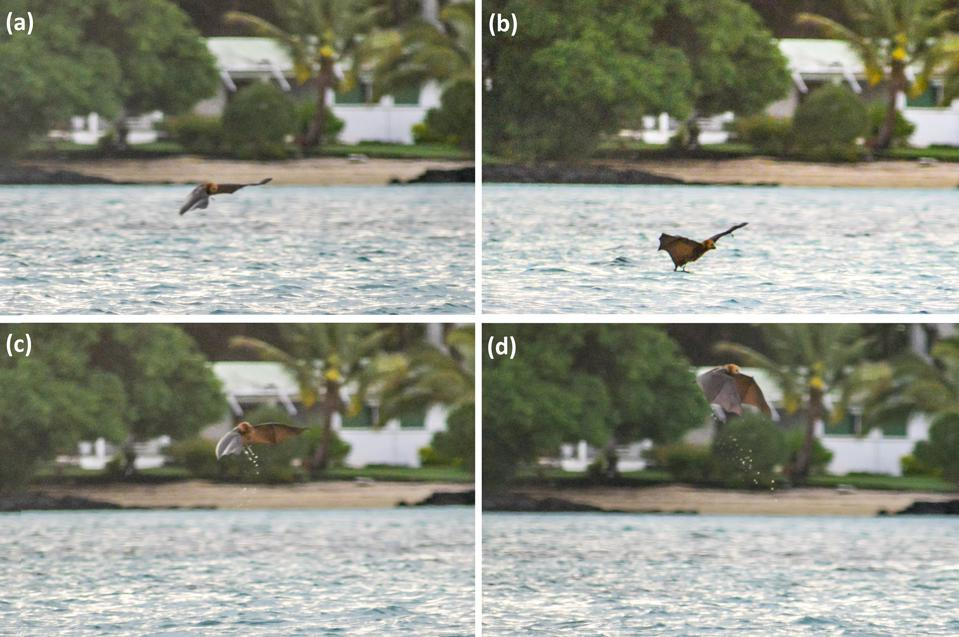 Mauritian flying fox touching seawater off coast of Ile aux Aigrettes
