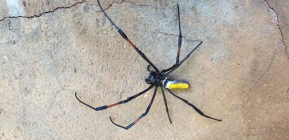 Mauritius native Golden Orb Spider otherwise known as banana spiders.  Scientific name: Nephila inaurata