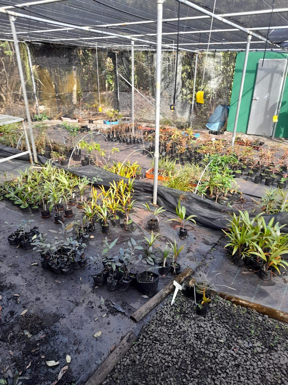 7 Aug 2020: The nursery on Ile aux Aigrettes had to be rapidly prepared and sorted to remove the most vulnerable plants that could be most easily transported