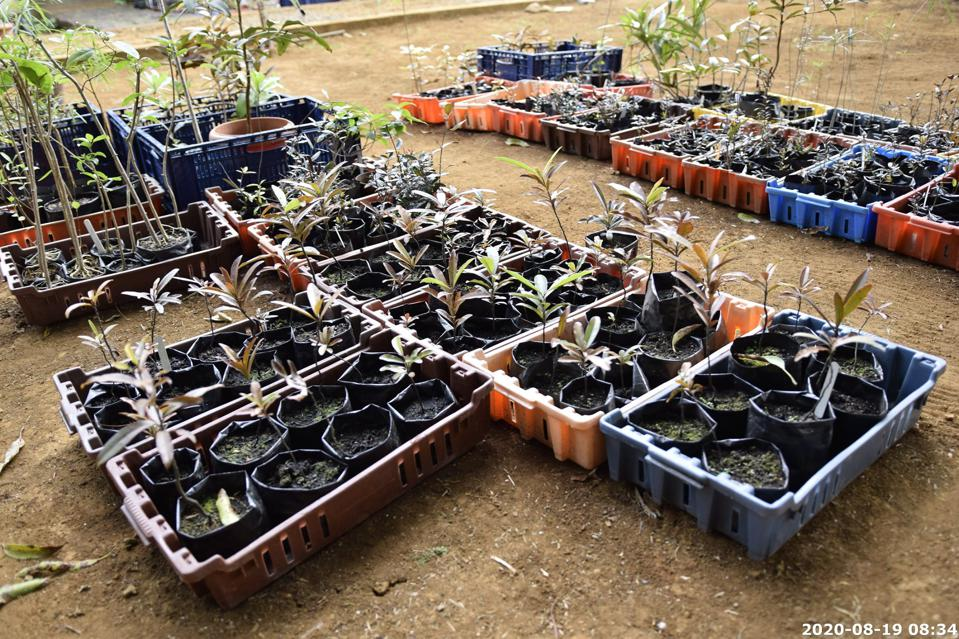 19 Aug 2020: several crates of rare endemic species had been transported over to the mainland.  They now had to be carefully tended for to ensure the appropriate soil, water and nutrient conditions.