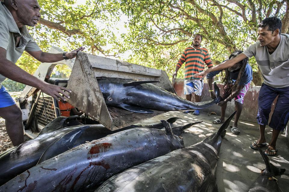 27 Aug 2020: carcasses of melon headed whales loaded onto a truck in Grand Sables, Mauritius, following oil spill.