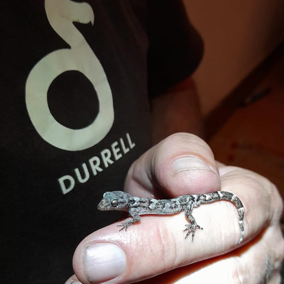 Lesser Night Gecko having been rescued from Mauritius and now in Jersey.  Seen with Dr Nick Cole.