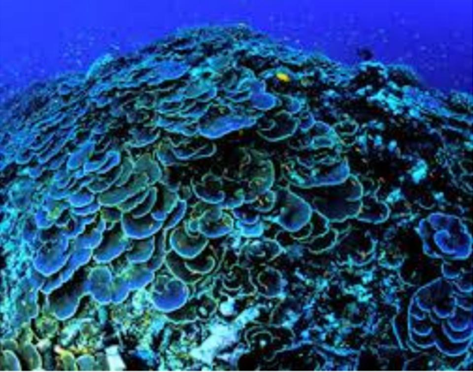 The famous Montipora aequituberculata corals located at Blue Bay Marine Park