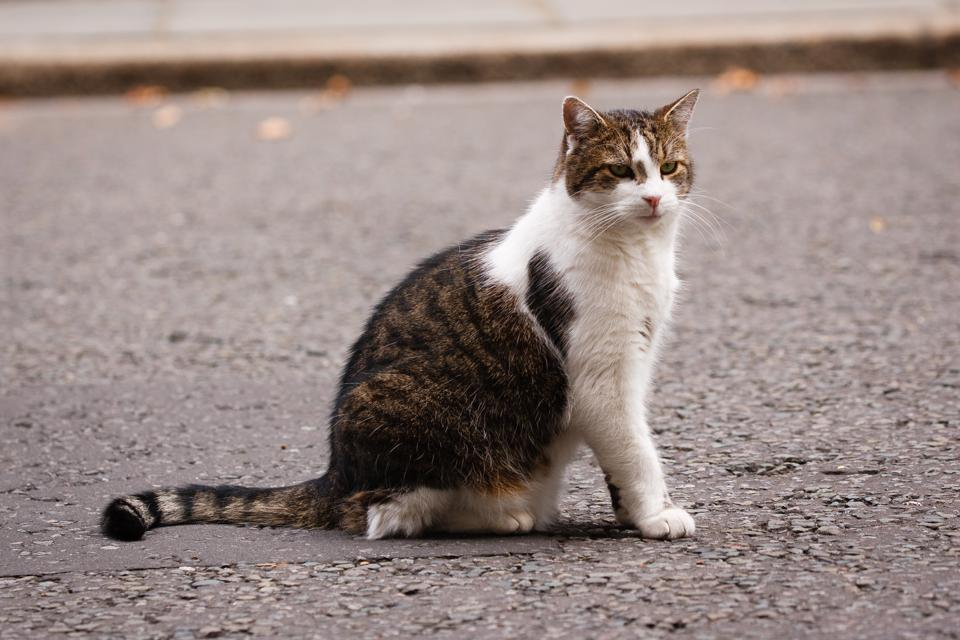Cat Larry On Downing Street
