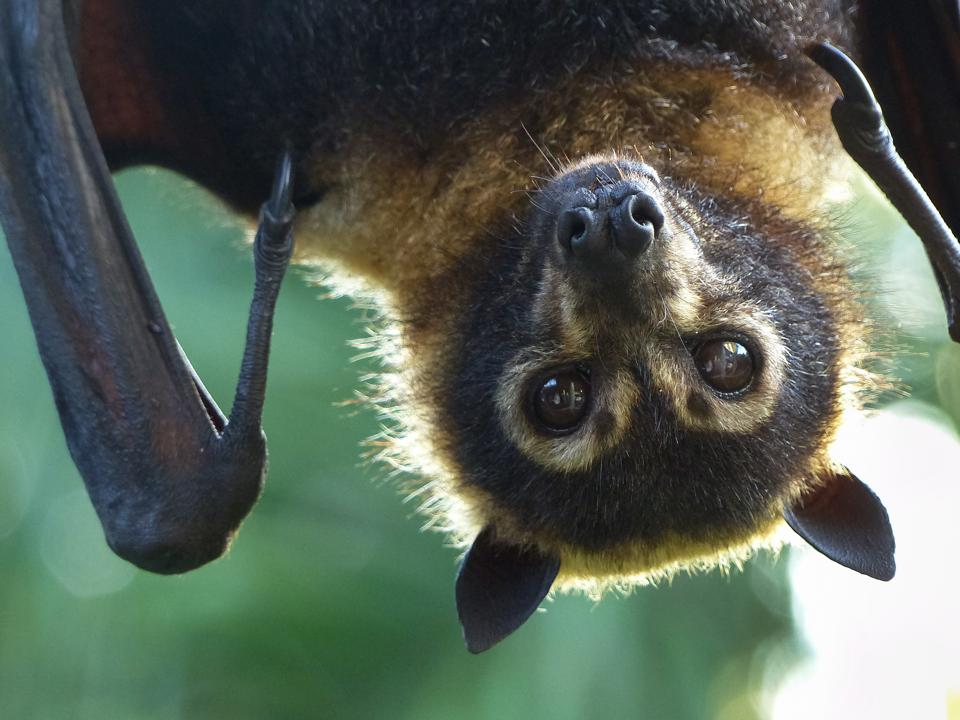 Bats are the new saviours of Bordeaux wine producers