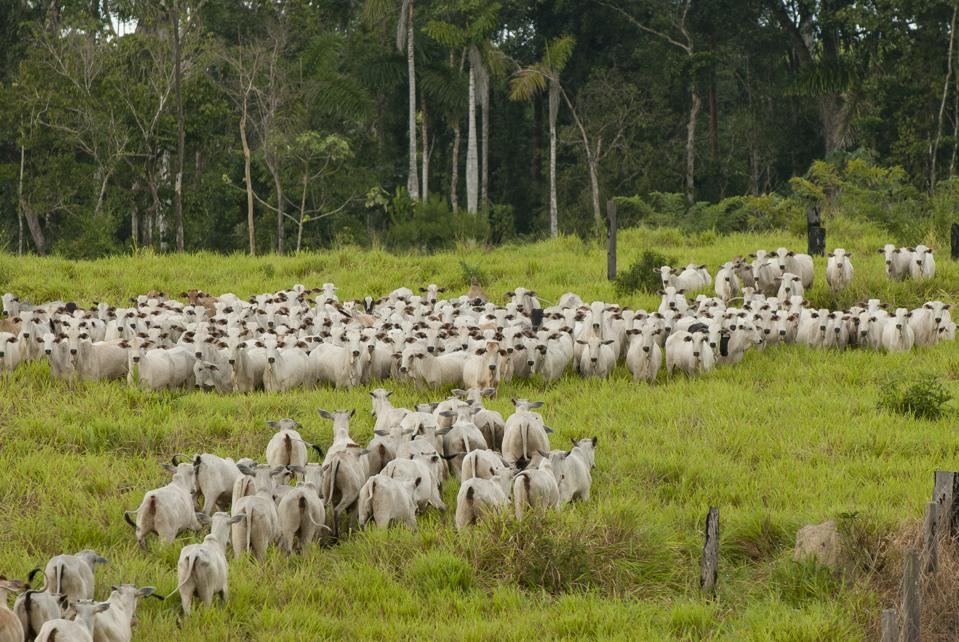 Photo of a large herd of cattle on deforested land in Brazil, taken earlier this year.