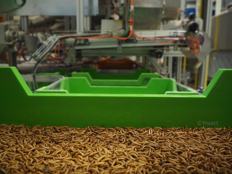 Mealworm on Ÿnsect's conveyor belt