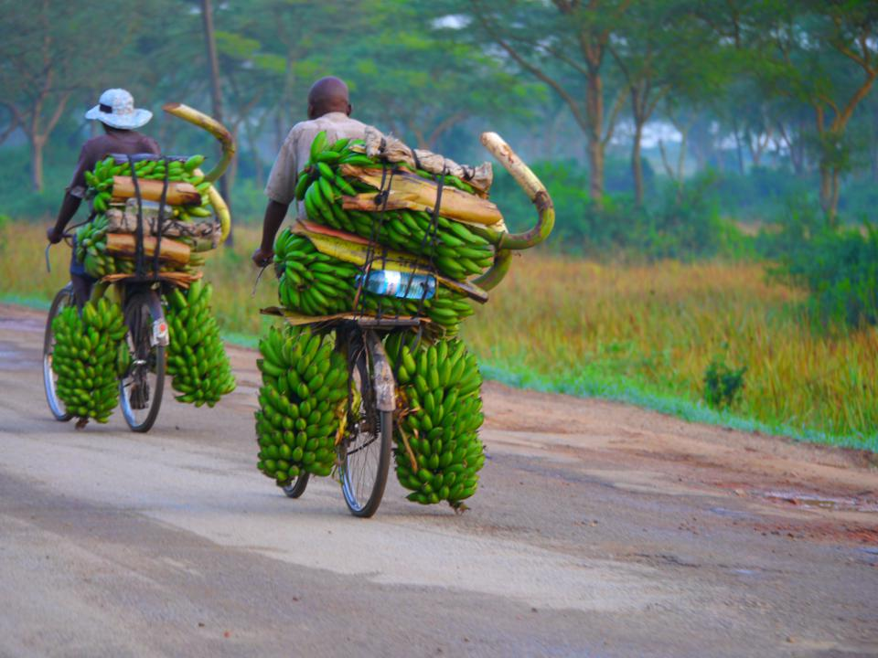Two bicycles, the riders' backs to the camera, moving out of the frame, overloaded with large bunches of bananas