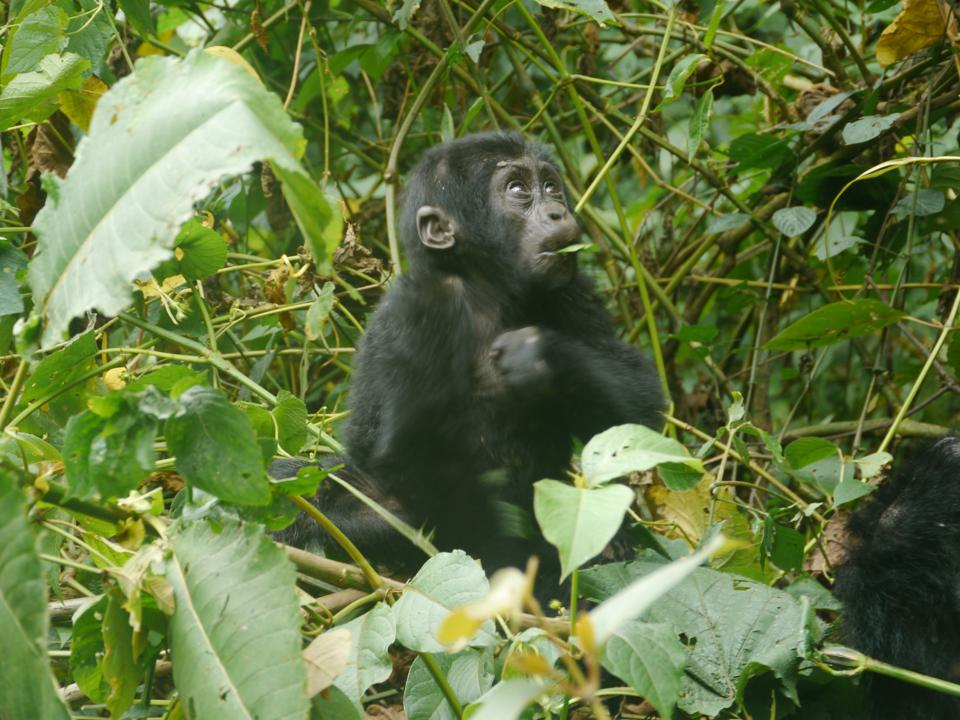 A baby mountain gorilla eating a leaf sitting amongst leaves