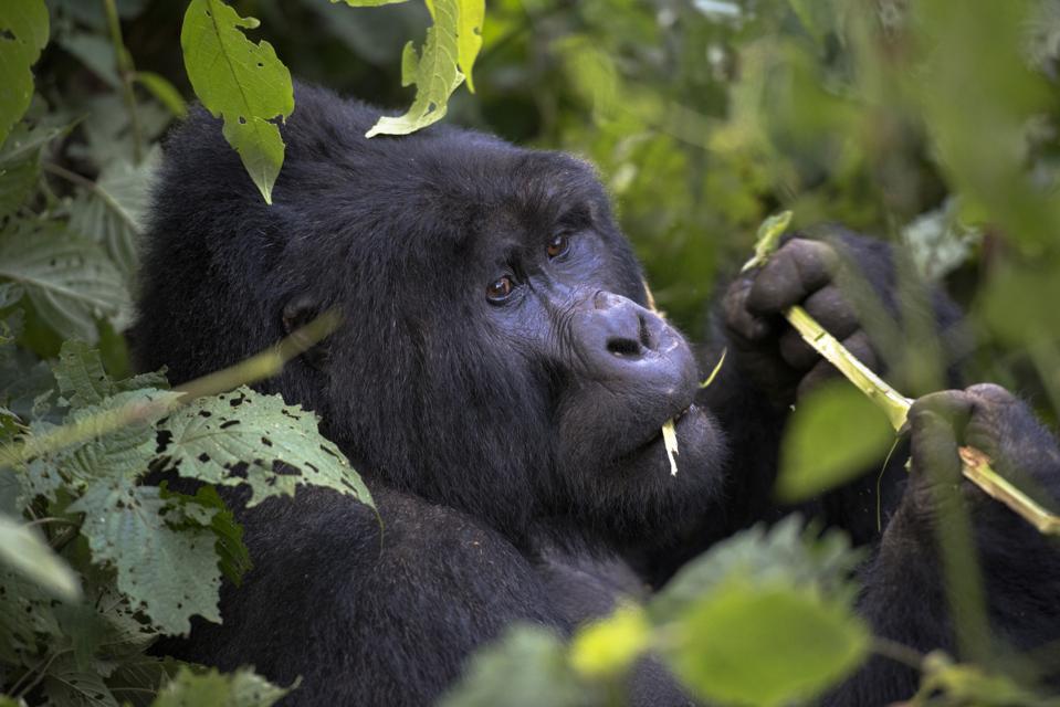 Uganda, Bwindi Impenetrable National Park, Bwindi Impenetrable Forest, Mountain Gorilla. (Gorilla Beringei Beringei),