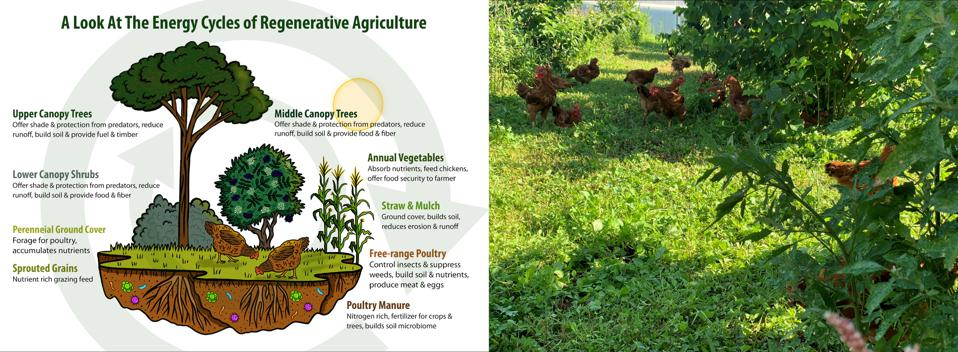 Diagram of Regenerative Agriculture alongside chickens foraging under a hazelnut and elderberry canopy