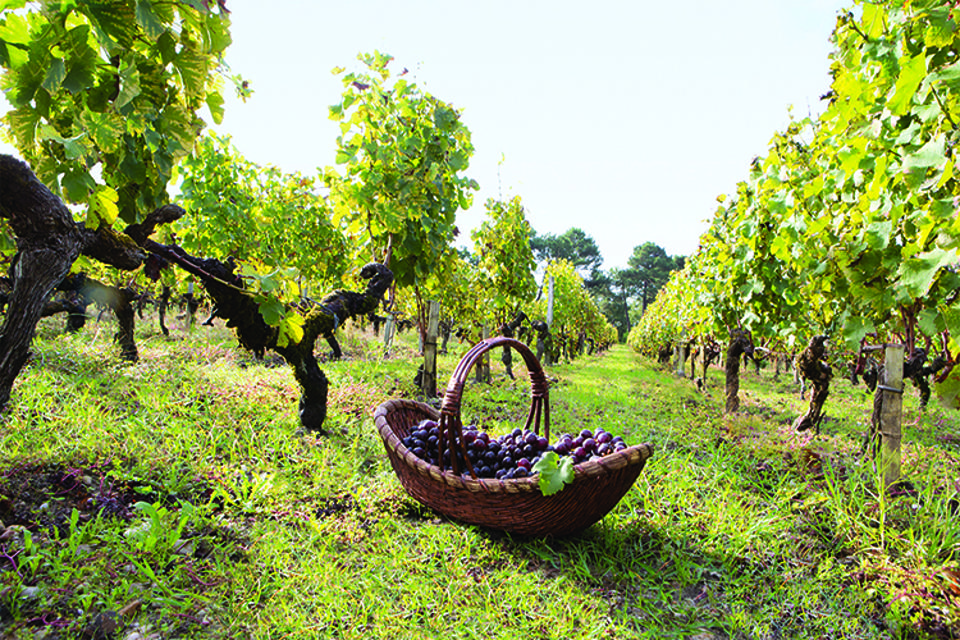 Caudalie grapes
