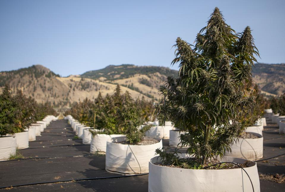 Rows of cannabis plants are shown in rolling hills.