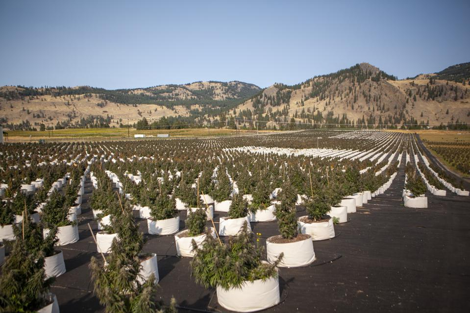 Rows and rows of cannabis plants among rolling hills