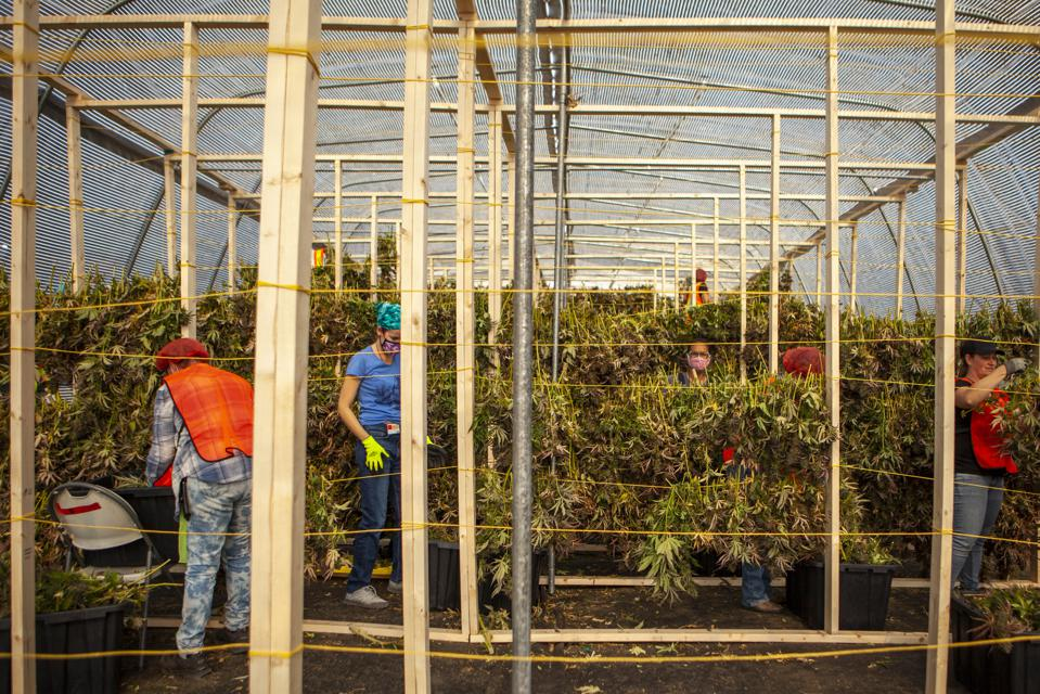 Employees can be seen hanging cannabis in a greenhouse.