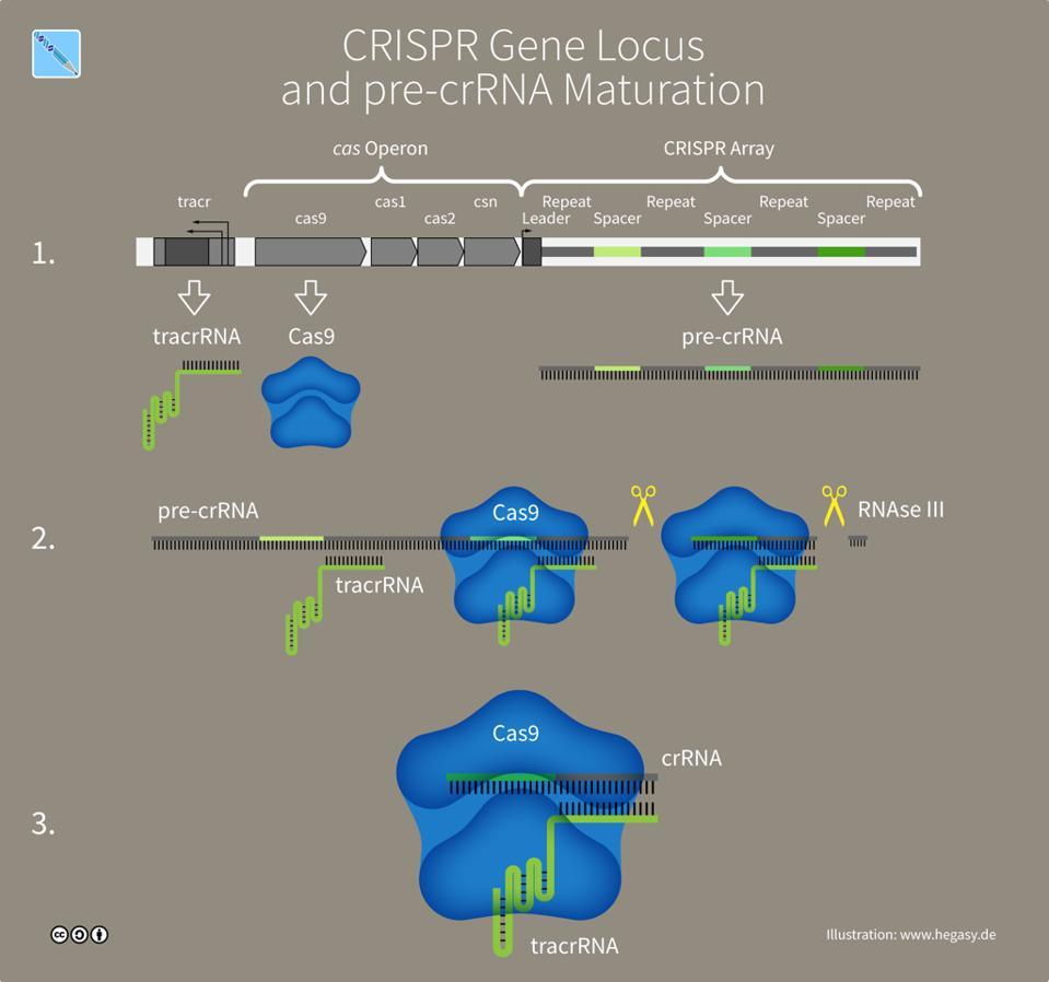 A natural Crispr-Cas9 system in bacteria.