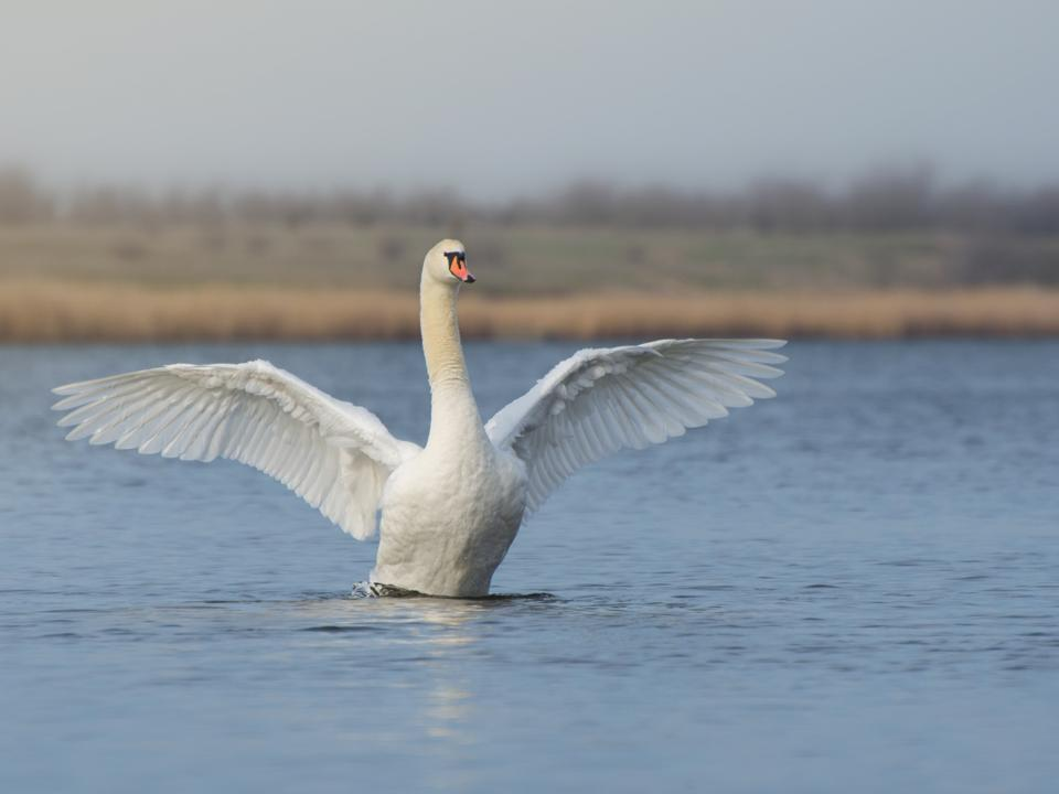 A large white swan spread its wings on a pond or lake. Bird protection.