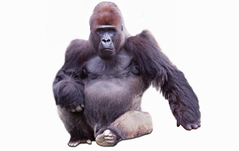 Confident Male Gorilla