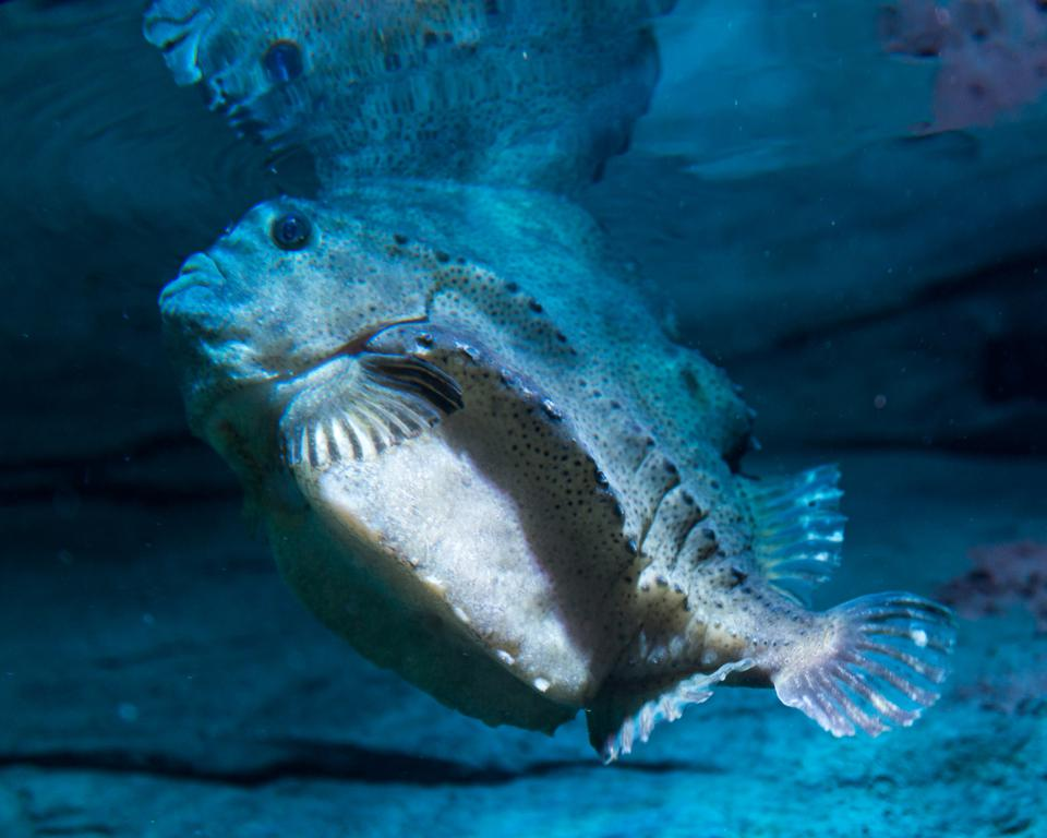 Cyclopterus lumpus, the lumpsucker or lumpfish, is a species...