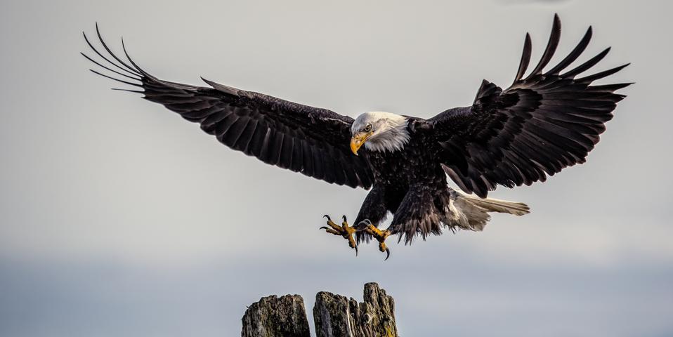 Bald eagle (Haliaeetus leucocephalus) landing on tree, Comox, Vancouver Island, British Columbia, Canada