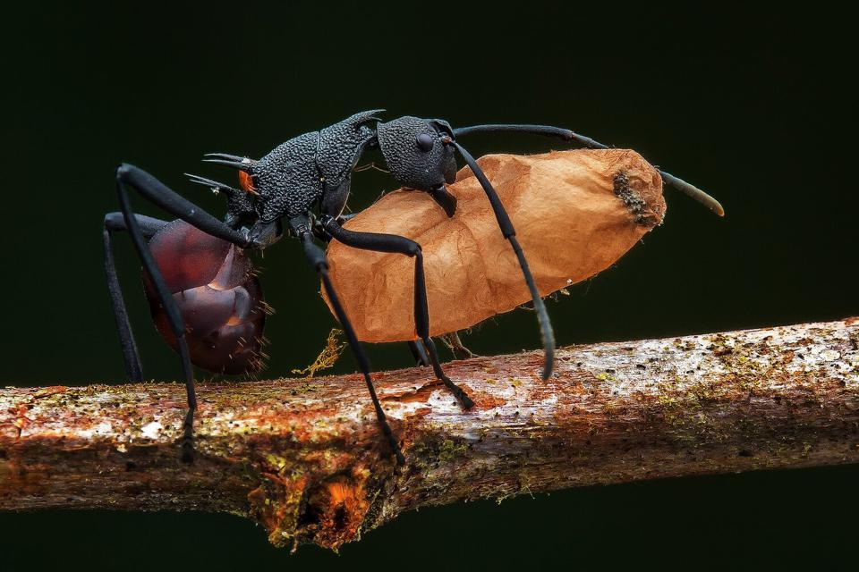 Close-Up Photographer of the Year a black ant carrying a big orange egg.