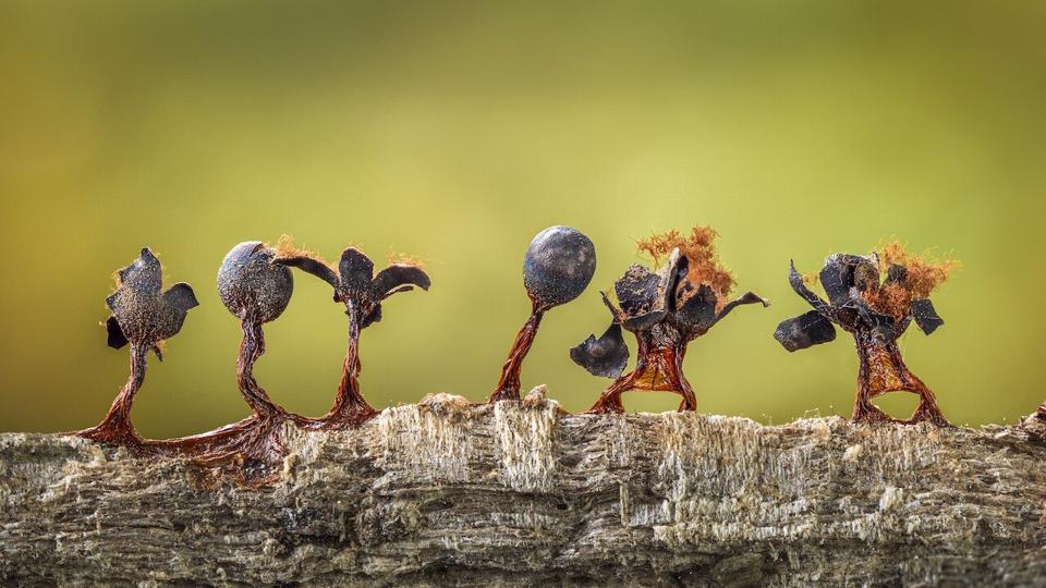 Close-Up Photographer of the Year : fungi on a tree looking like  dancing people.