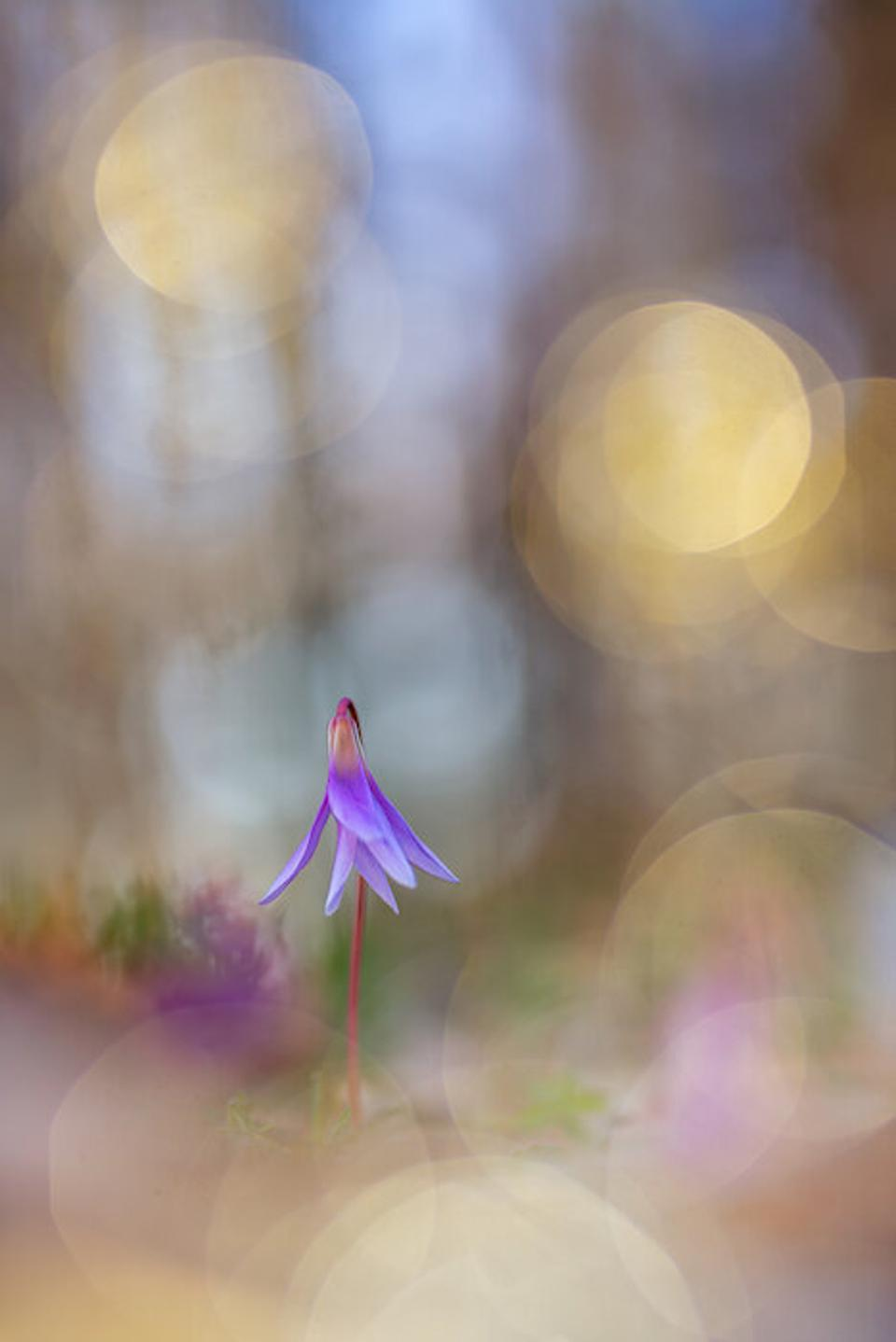 Close-Up Photographer of the Year: a purple delicate violet in an etereal background