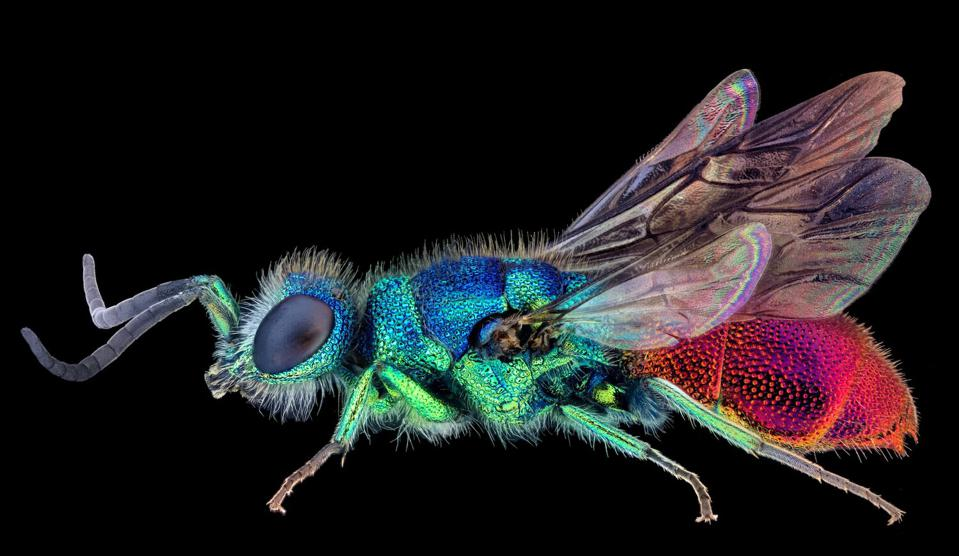 Close-Up Photographer of the Year : colorful cuckoo wasp against black background.