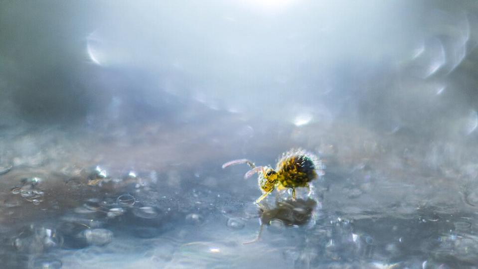 Close-Up Photographer of the Year a small yellow insect walking on frozen water.