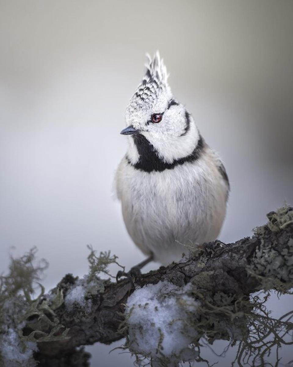 Close-Up Photographer of the Year , a white great crested tit bird.