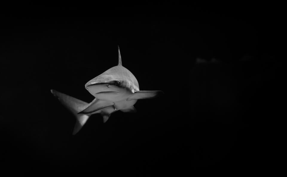 White shark in the dark