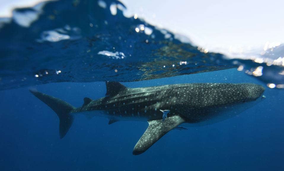 Whale Sharks off Ningaloo Reef, Western Australia