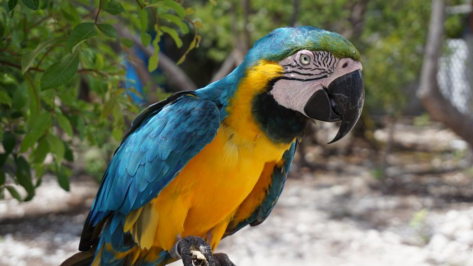 Close-Up Of Gold And Blue Macaw Perching On Branch, Lucaya, Bahamas