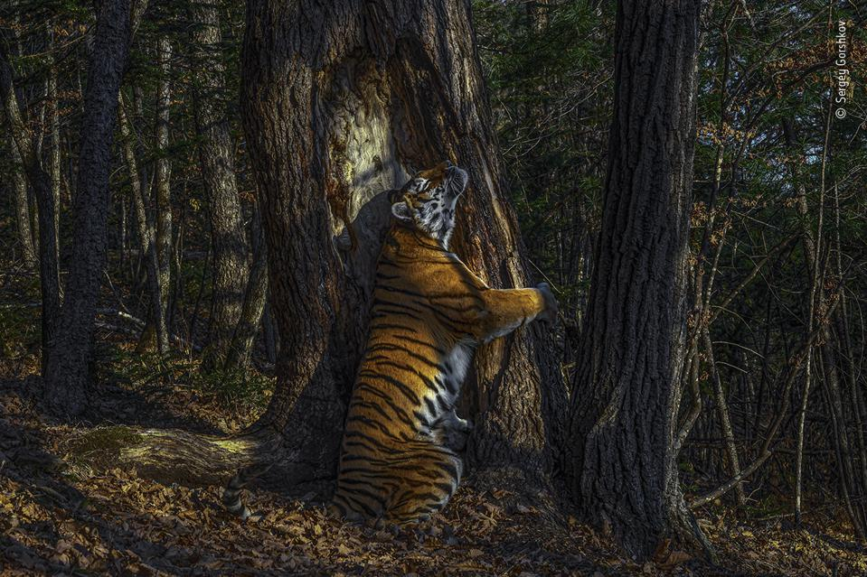 Wildlife Photographer of the Year, a wild and free Siberian Tiger.