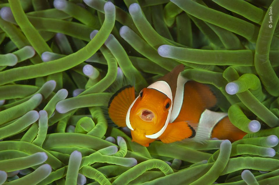 Wildlife Photographer of the Year: Clownfish with a 'tongue-eating louse', in his mouth.